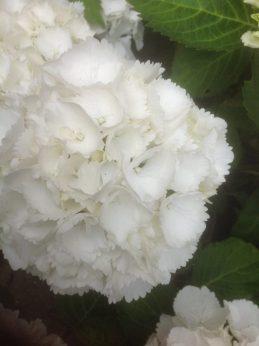 White Hydrangea - Botanicals blog - Charis White