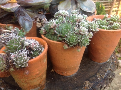 imFrost covered plant pots, Photo: Charis Whiteage