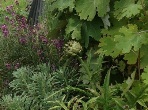 Cardoon and garden plants. Worton garden, Roseland Peninsula. Charis White blog.