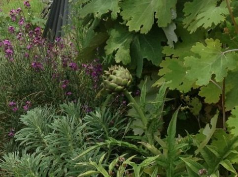 Cardoon and garden plants. Worton garden, Roseland Peninsula. Charis White blog.