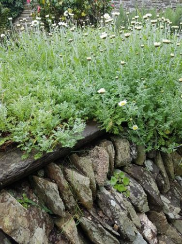 Daisy plant and stone wall at Helen and John Worton's Cornish home. Photo and blog: Charis White