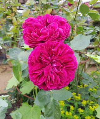 Fuchsia roses, Petersham Nursery. Photo: Charis White interiors blog